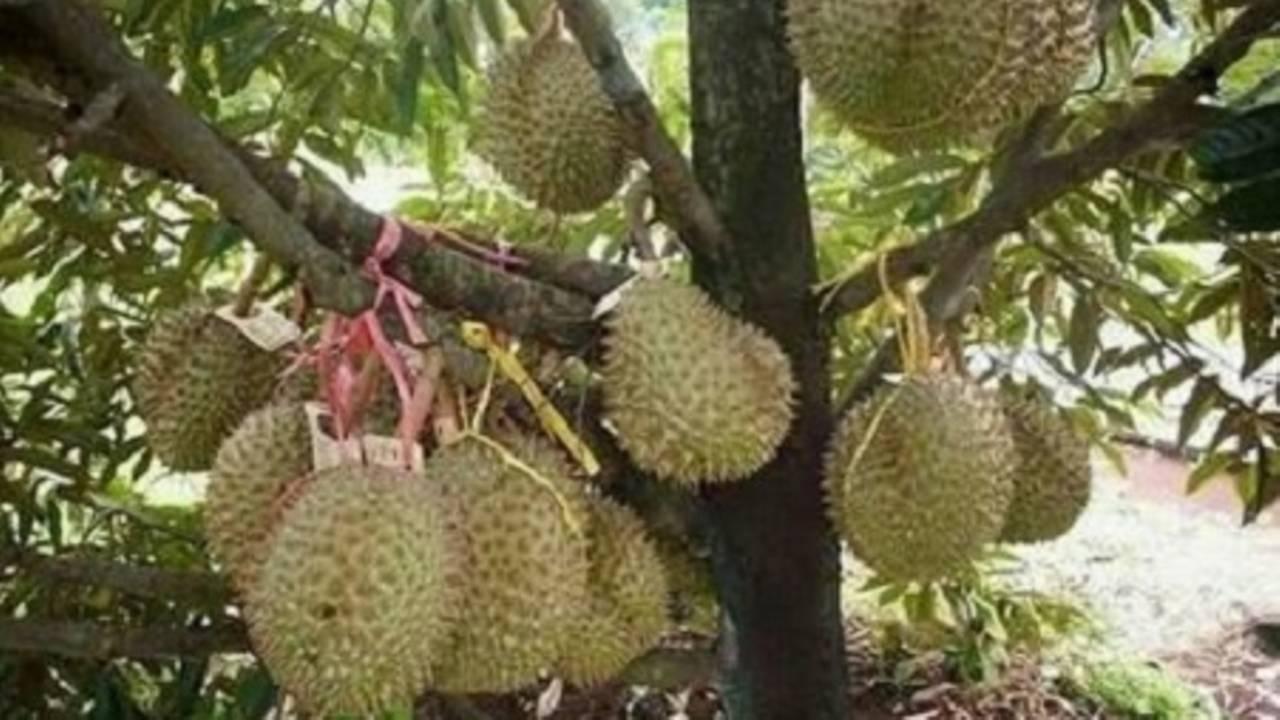 Cara Menanam Durian Musang King