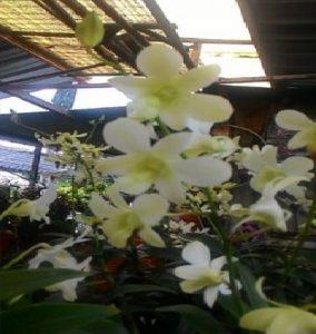 Ciri-Ciri Tanaman Anggrek Dendrobium Pale Ivory