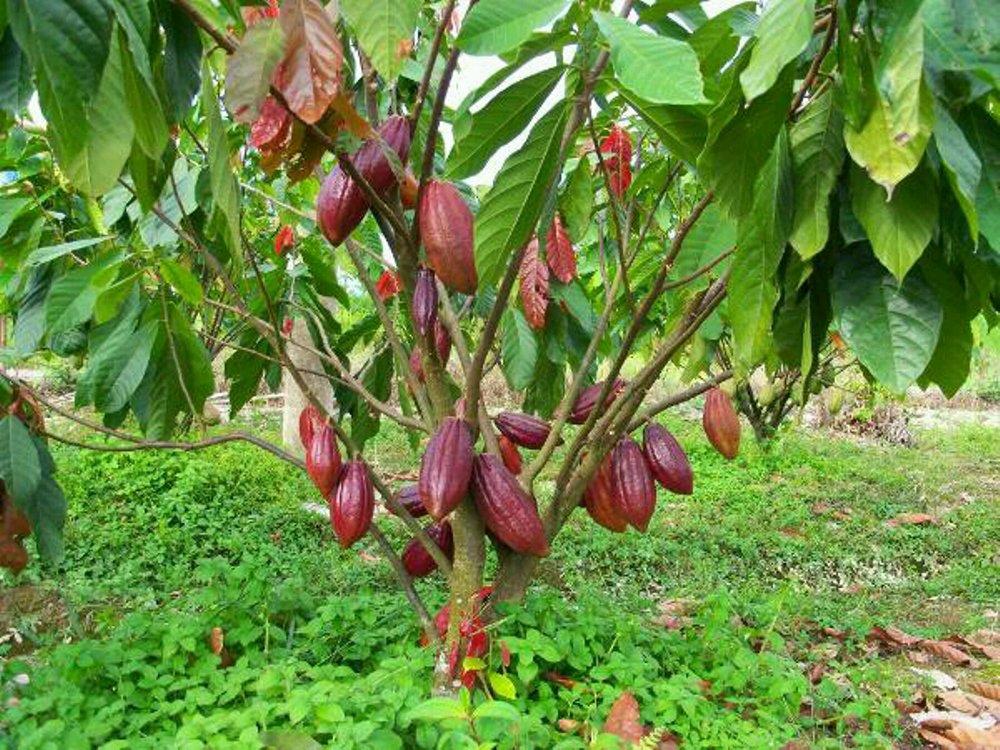 Ciri-ciri Bibit dan Tanaman Kakao