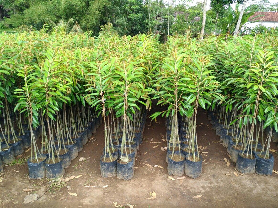 Jual Bibit Durian Musang King 70 cm