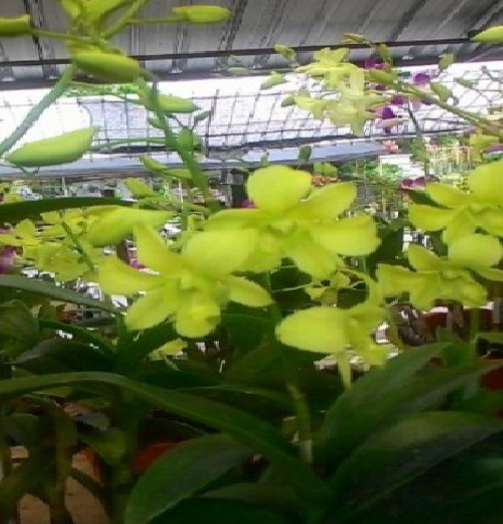 Jual Tanaman Anggrek Dendrobium Yellow Cheers