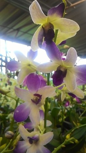 Jual Tanaman Anggrek Dendrobium Yellow Purple Blush