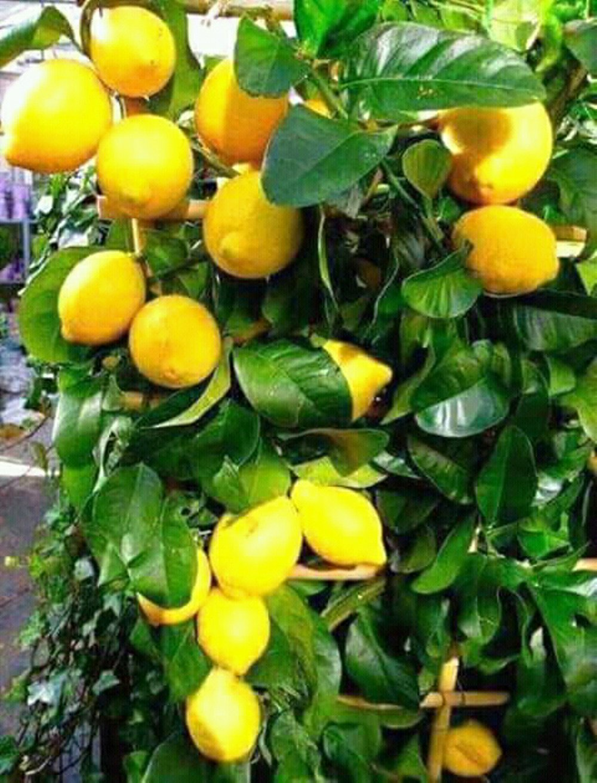 Tanaman jeruk lemon Amerika