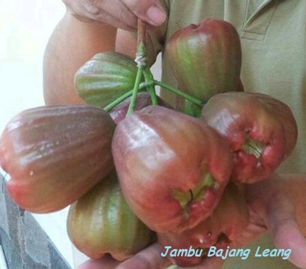 buah jambu air Bajang Leang