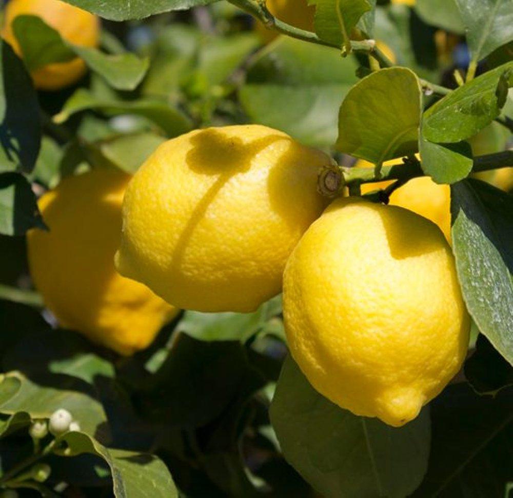 ciri-ciri jeruk lemon amerika