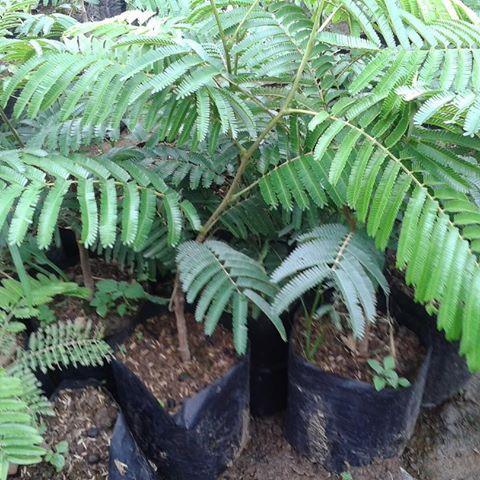 ciri-ciri tanaman pete