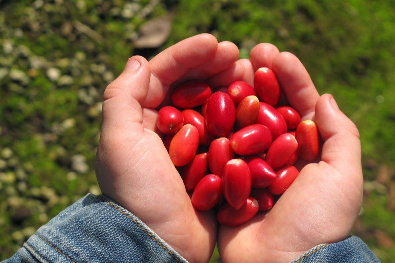 karakteristik tanaman miracle fruit