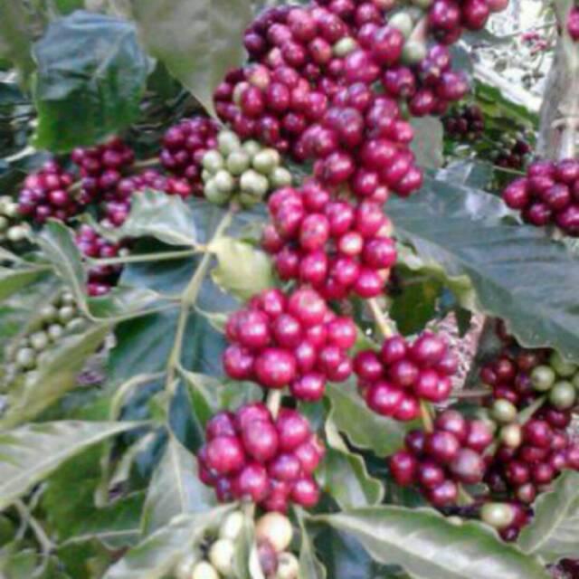pohon kopi arabika