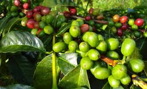 tanaman kopi robusta