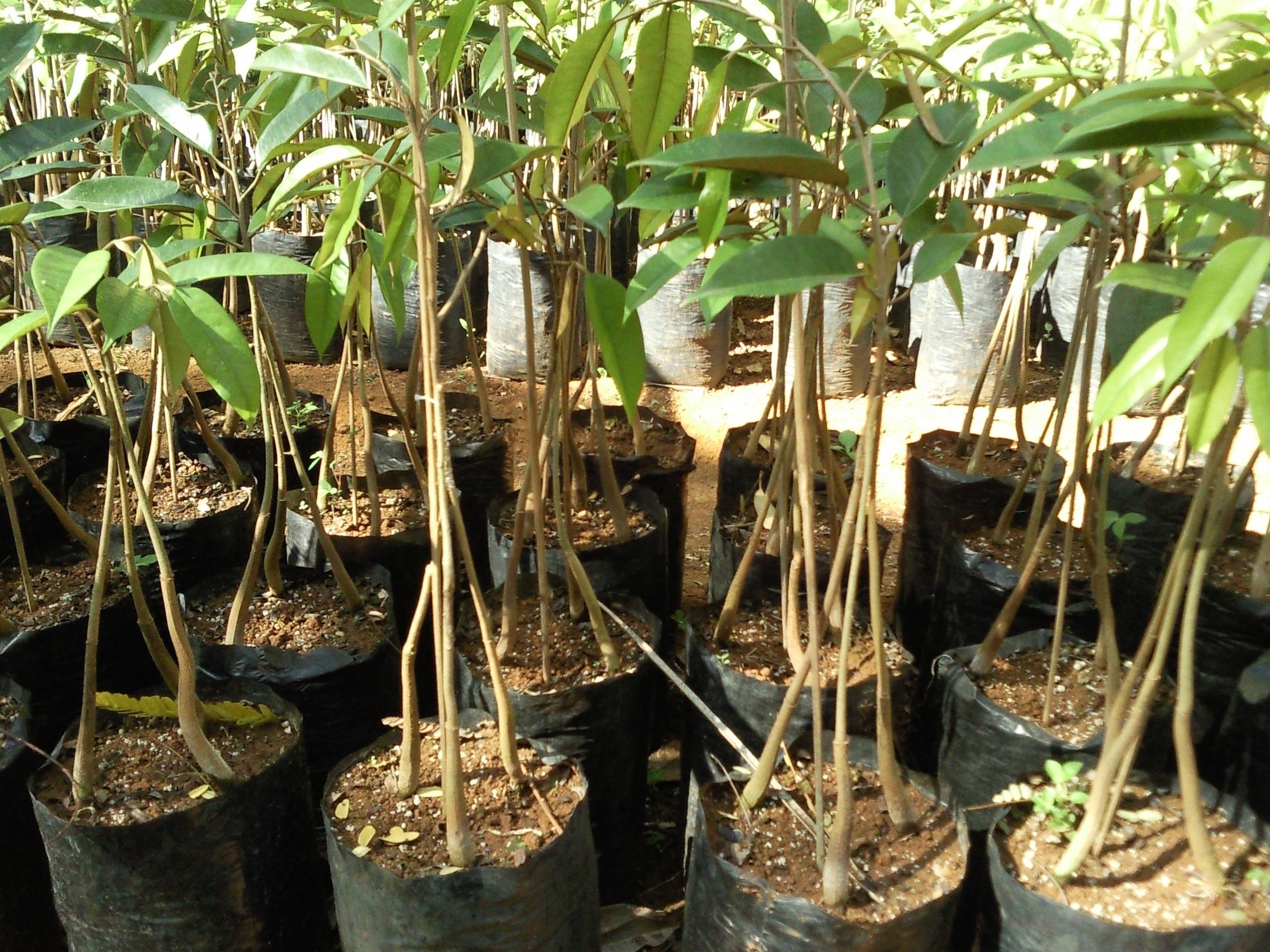 Jual Bibit Durian Montong 3 Kaki 150 cm