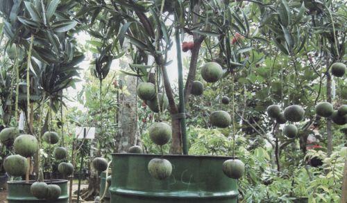 Keunggulan Tanaman Mangga Kelapa