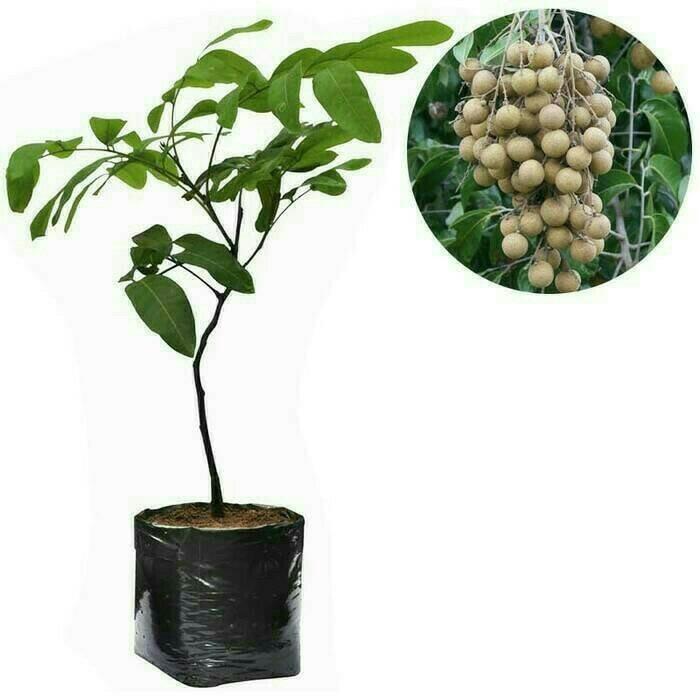 Jual Bibit Kelengkeng Aroma Durian 70 cm