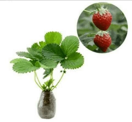 Jual Bibit Strawberry 30 cm