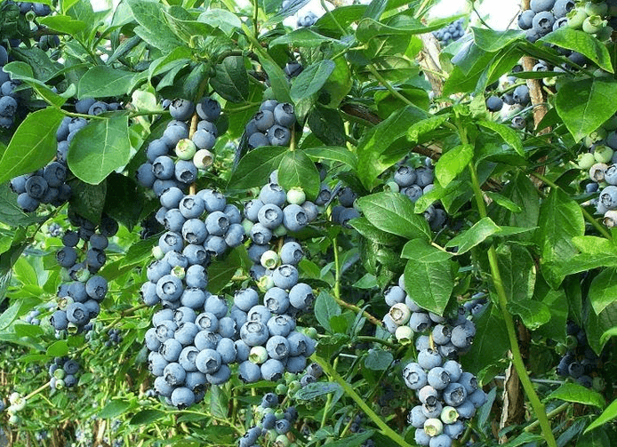 Tanaman Buah Blueberry