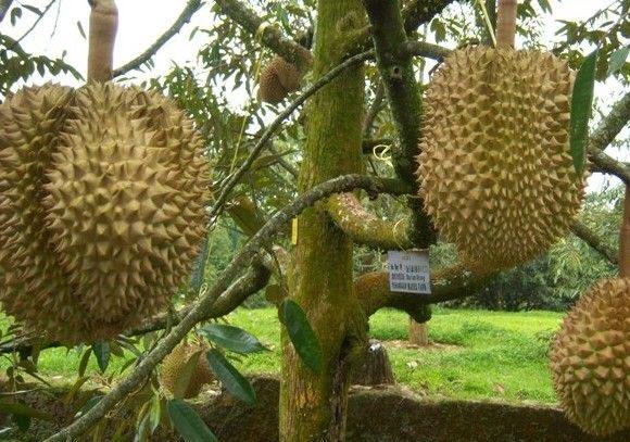 Tanaman Buah Durian Petruk