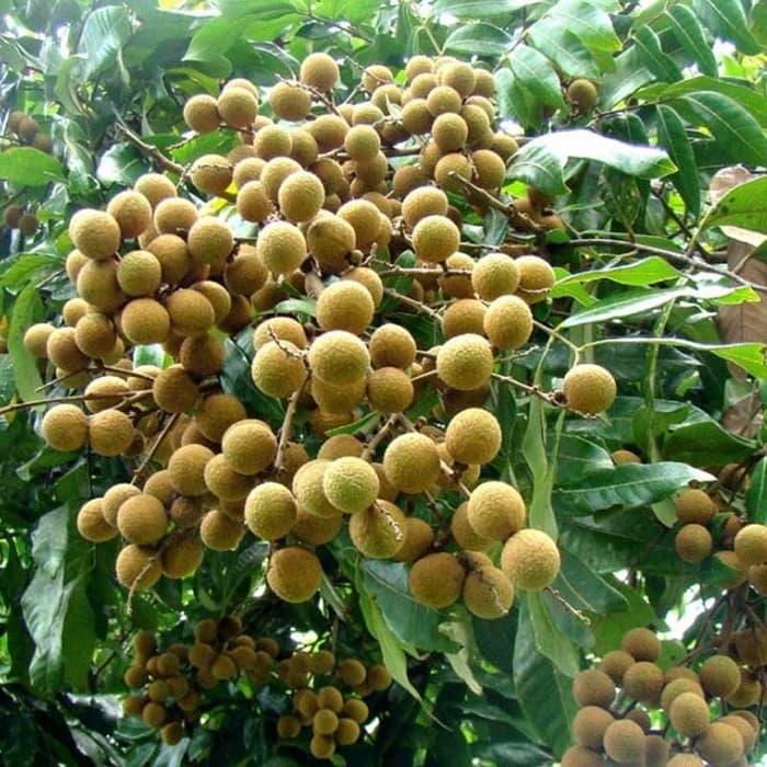 Tanaman Buah Kelengkeng Aroma Durian