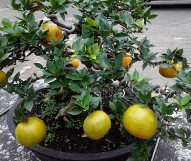 Budidaya Bibit Jeruk Keprok Brazil dalam Pot