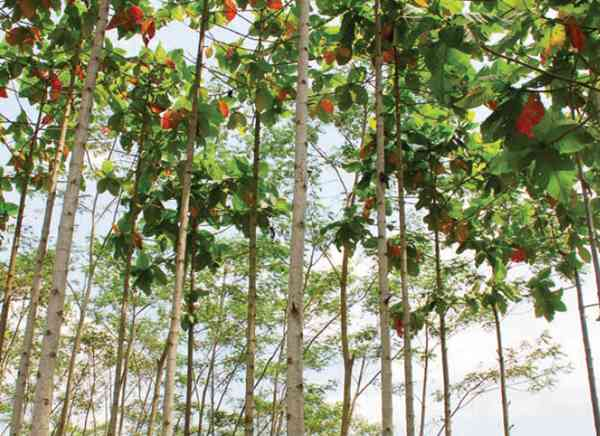 Ciri-ciri Pohon Jabon Merah