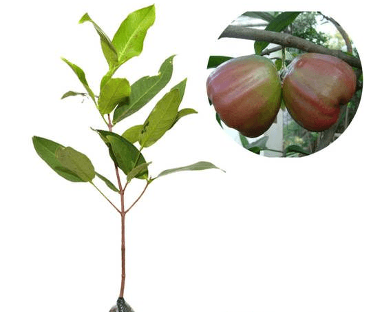 Jual Bibit Jambu Air King Rose 70 cm