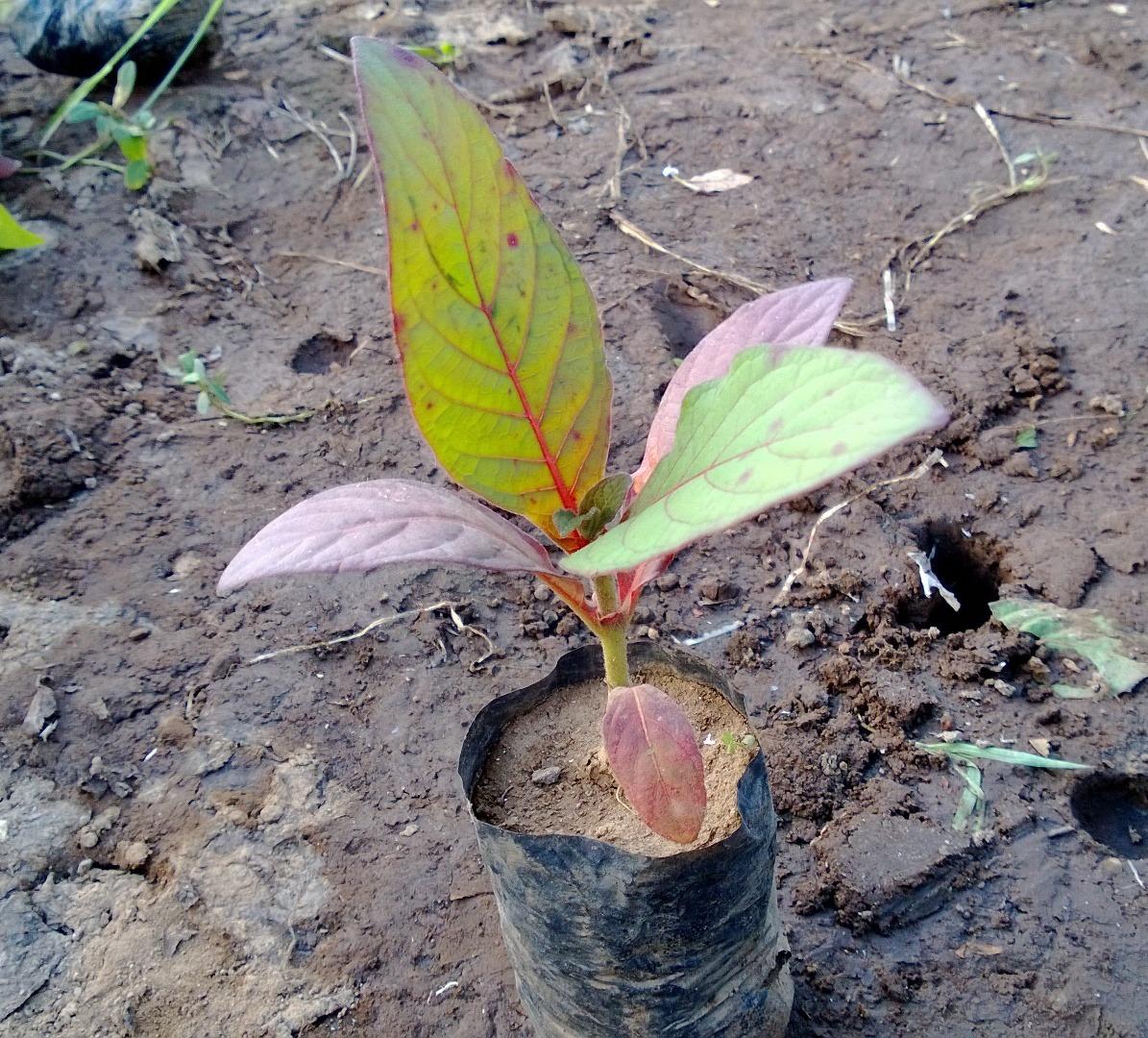 Jual Bibit Pohon Jabon Merah 70 cm