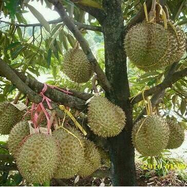 Tanaman Buah Durian Bawor 3 Kaki