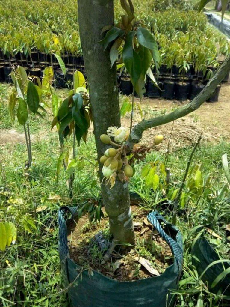 Budidaya Durian Musang King Dongkelan Tabulampot