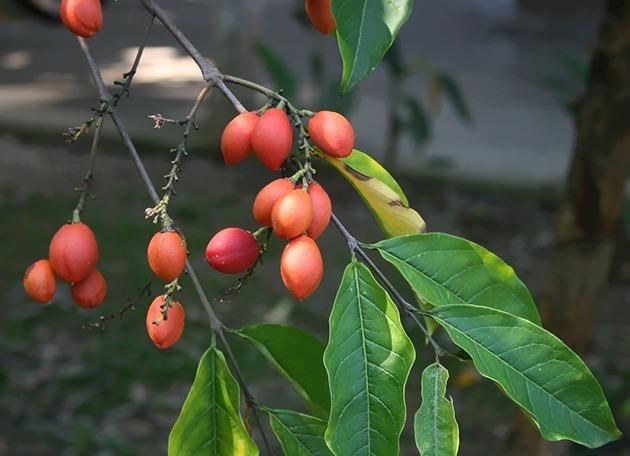 Ciri-ciri Tanaman Kacang Amazon