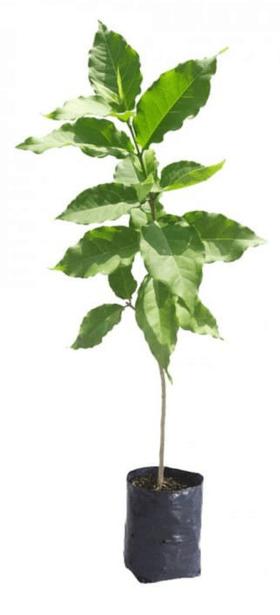 Jual Bibit Kacang Mentega Amazon 70 cm