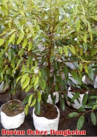 Jual Bibit Tanaman Durian Duri Hitam Ochee Black Thorn Dongkelan 100 cm