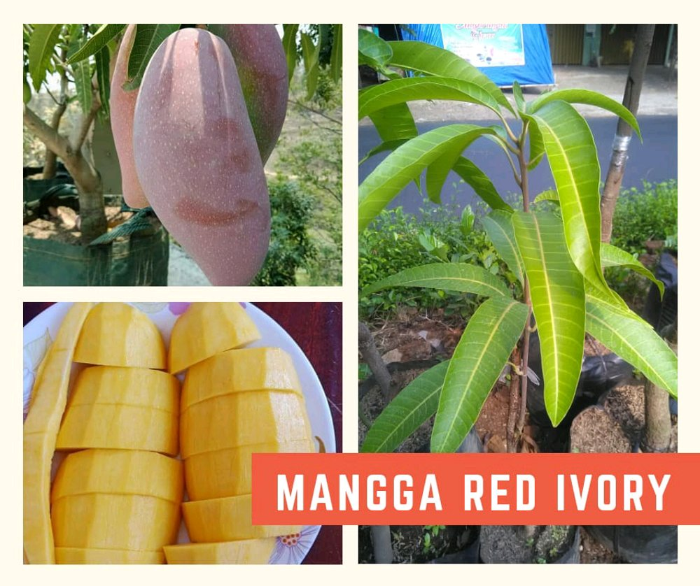 Manfaat Buah Mangga Taiwan Red Ivory