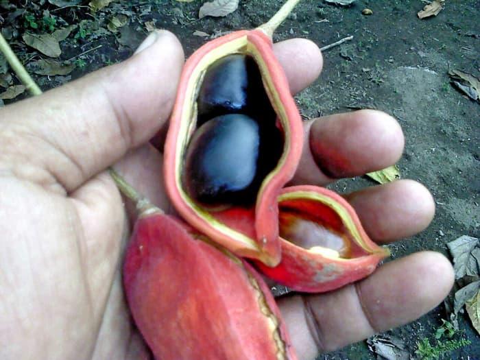 Manfaat atau Khasiat Kacang Amazon