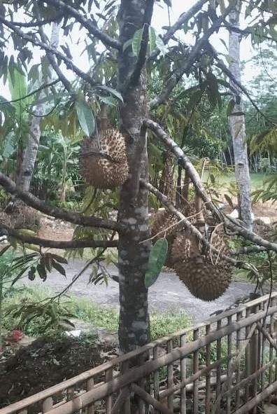 Pemangkasan Pohon Durian Montong