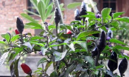 Ciri-ciri Tanaman Cabe Black Royal