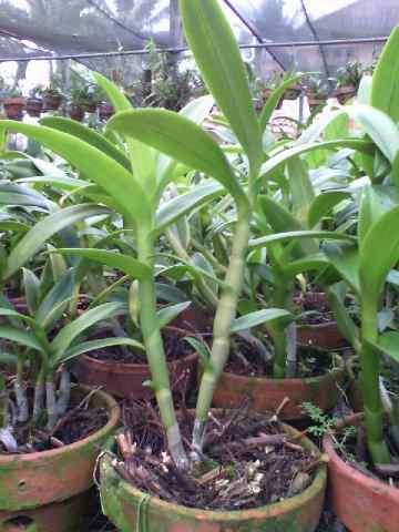 Jual Tanaman Anggrek Dendrobium Pale Ivory