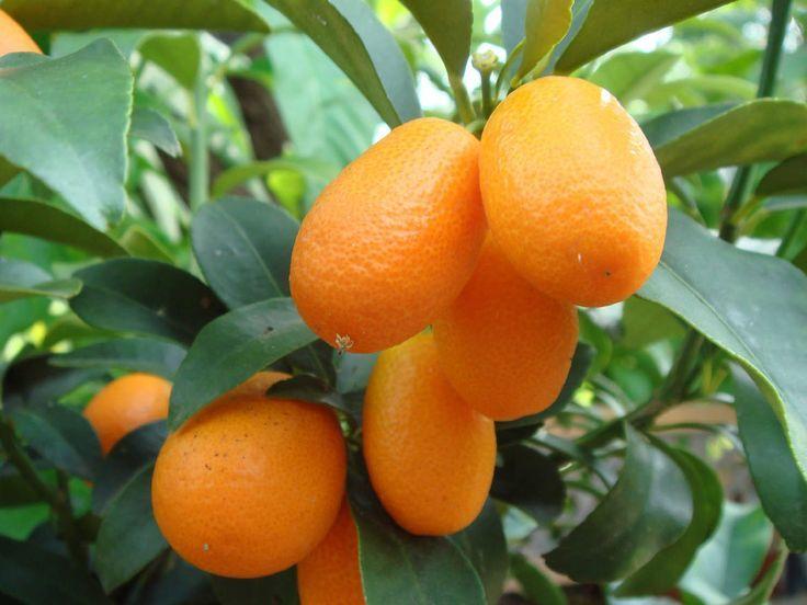 cara menanam jeruk nagami