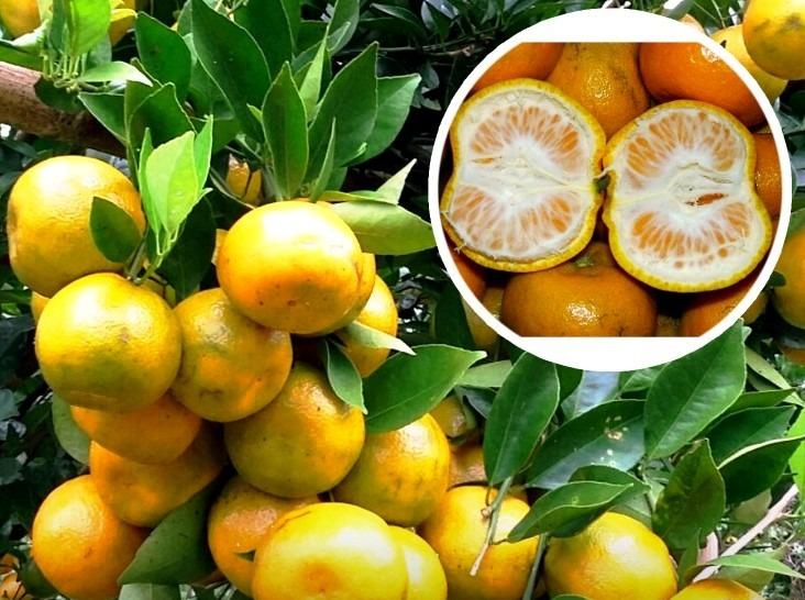 Ciri-ciri jeruk keprok siam