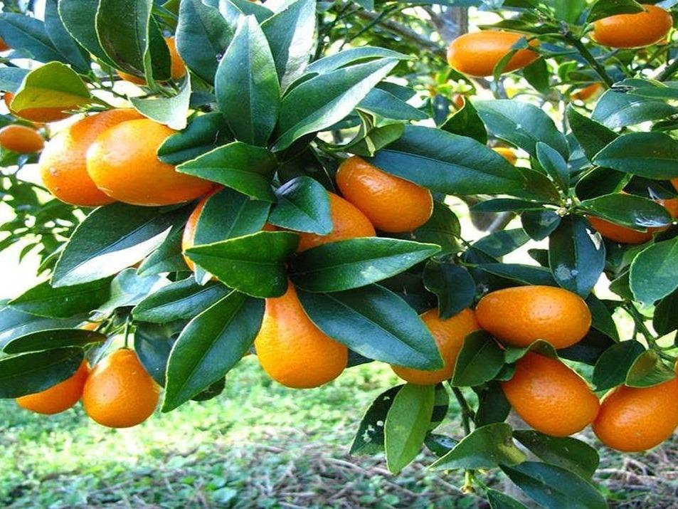 ciri-ciri jeruk nagami