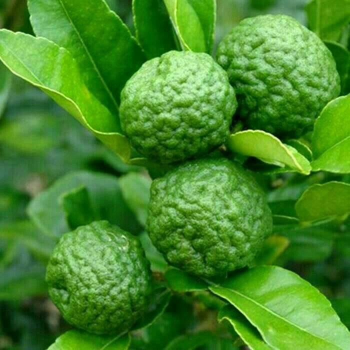 Ciri-ciri pohon dan buah jeruk purut