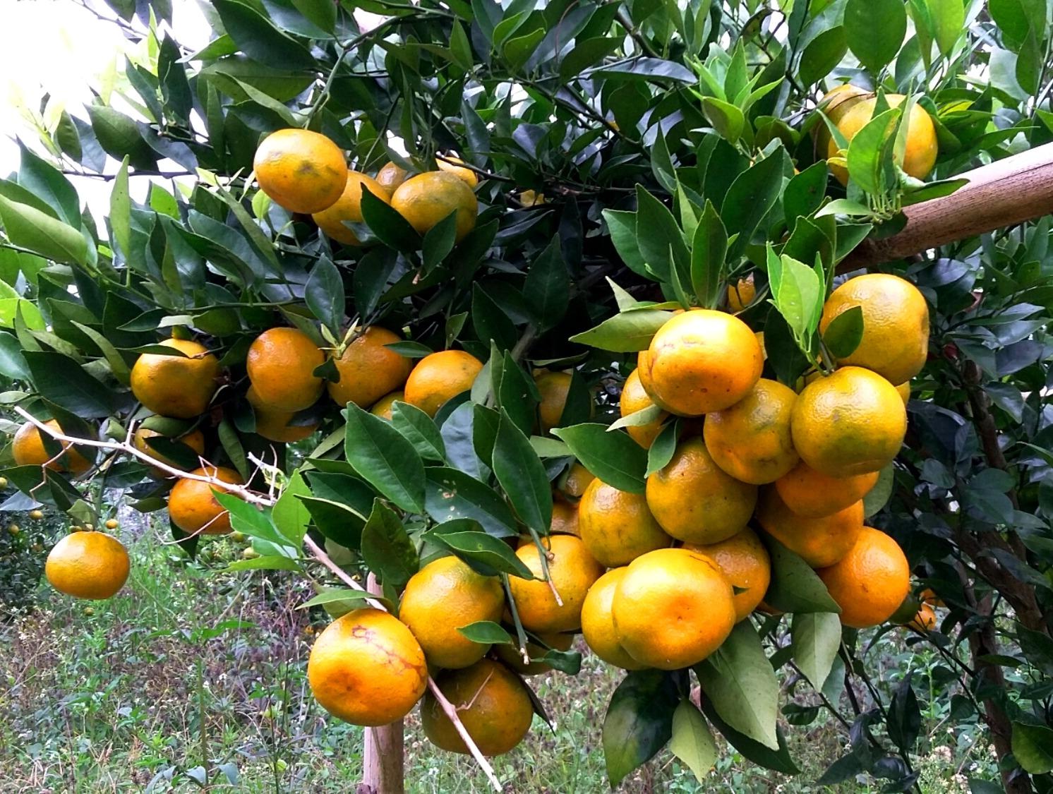 Cara budidaya jeruk keprok siam