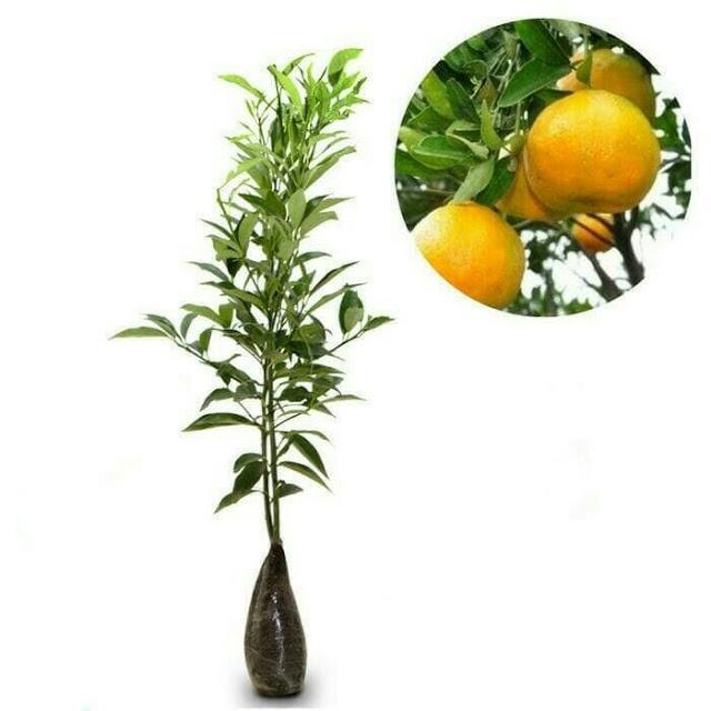 Jual bibit jeruk keprok siam