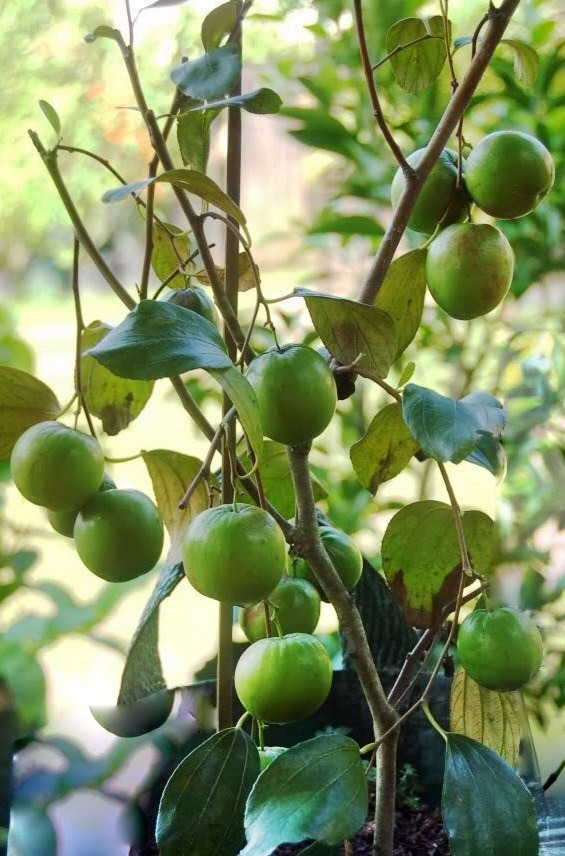 Jual Bibit Apel India Berbuah