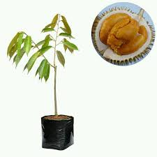 Jual Bibit Durian Duri Hitam 100 cm