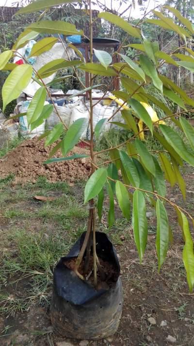 Jual Bibit Durian Musang King Kaki Empat 100 cm