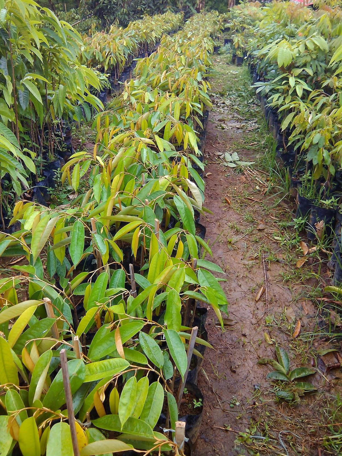 Jual Bibit Durian Pelangi 100 Cm