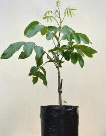 Jual Bibit Kelengkeng Puangray 70 cm