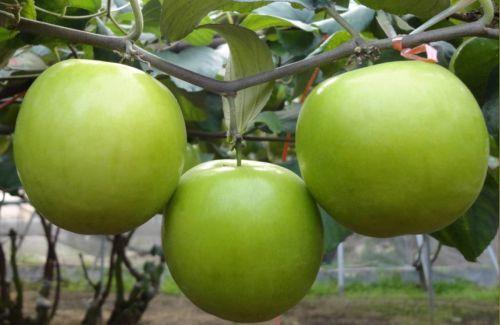 Tanaman Buah Apel India Berbuah