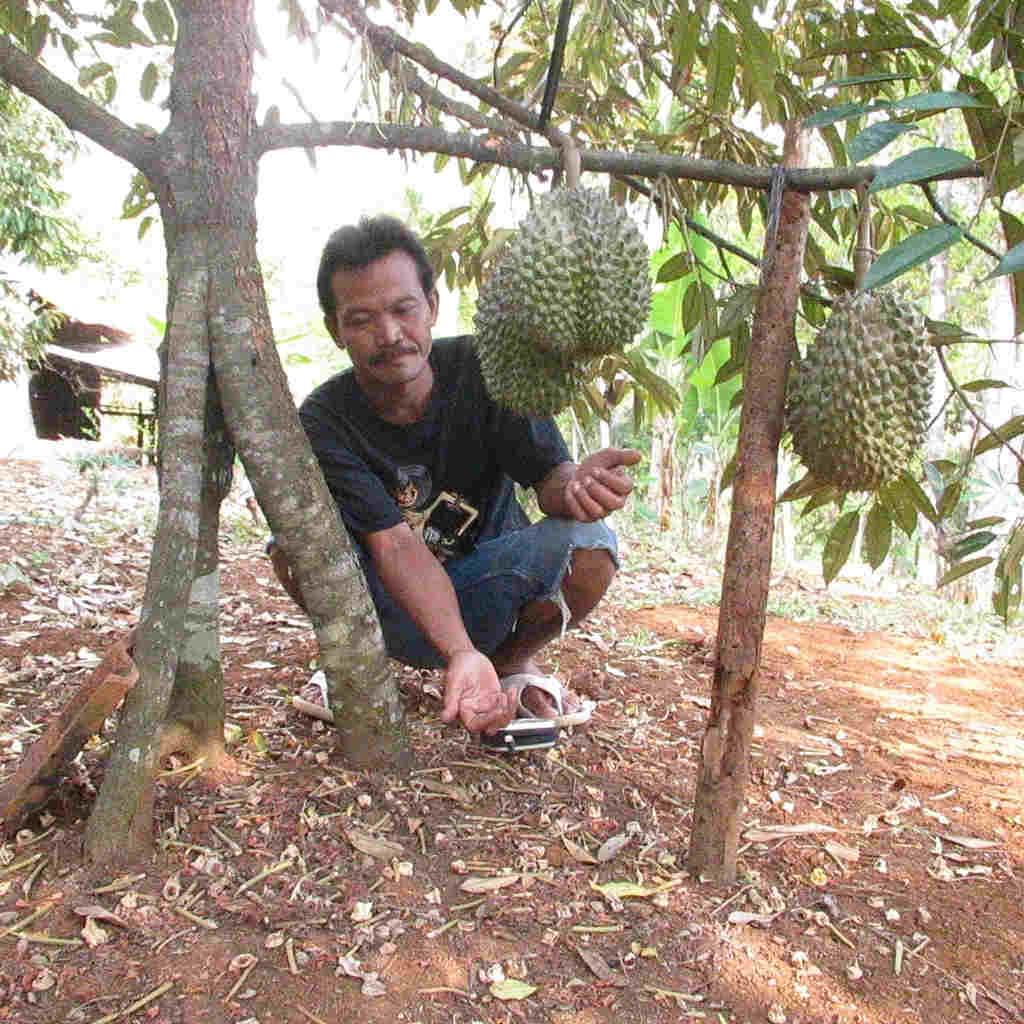 Tentang Tanaman Durian Montong 3 Kaki