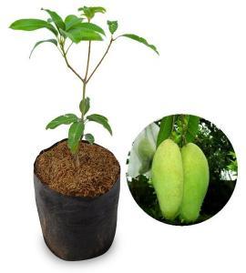 Jual Bibit Pohon Mangga Golek India 70 cm