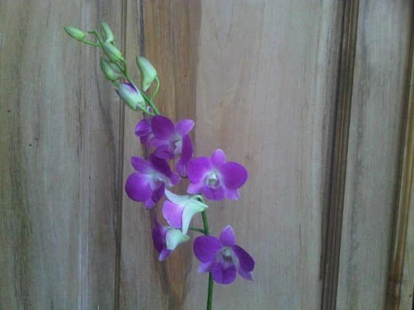 Keunggulan Tanaman Anggrek Dendrobium Yellow Purple Tongue