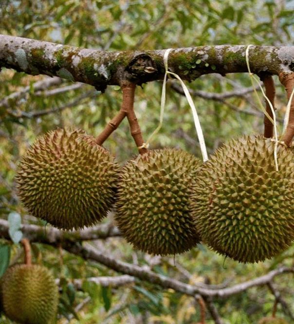 Tanaman Buah Durian D24